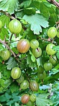 Gooseberry, Fruits, Many Berries, Bush, Large, Green