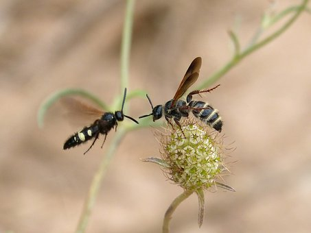 Wasp, Hornet, Couple, Wild Flower, Mating Of Insects