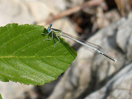Dragonfly, Damselfly, Leaf, Detail, Platycnemis Latipes