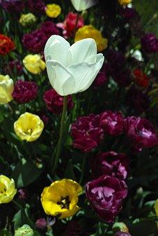 Tulips, Flower, Tulip Festival, Macro, Plant, Nature
