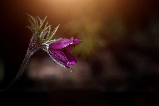 Flower, Anemone, Violet, Purple, Purple Anemone