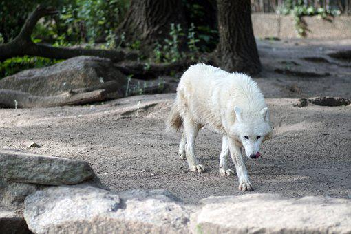Polarwolf, Wolf White, Forest, White Fur, Carnivores