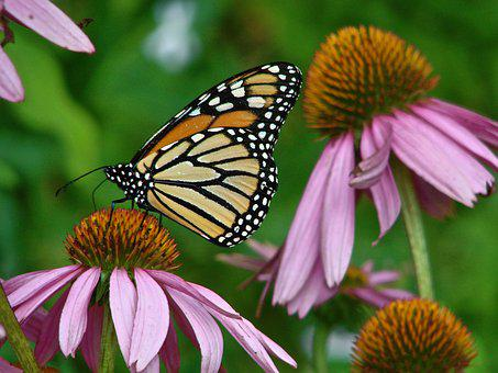 Monarch, Echinacea, Butterfly
