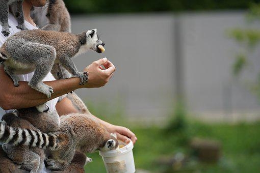 Lemur, Feeding, Eat, Monkey, Madagascar