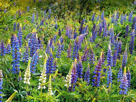 Lupins, Field, Meadow, Wild, Spring, Flower, Lupinus