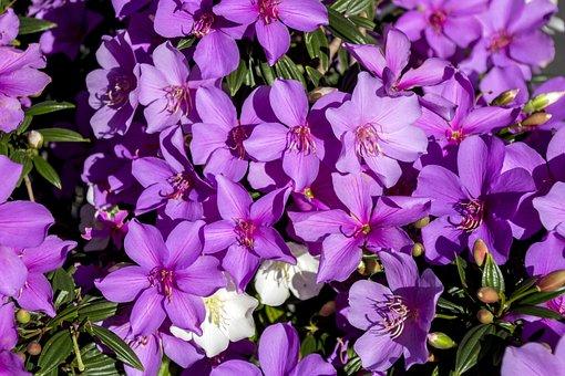 Azalea, Flower, Lilac, Azalea Pink, Plant, Nature