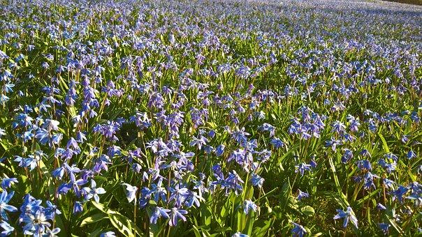 Scilla, Blue, Flowers, Blue Star, Hannover-linden