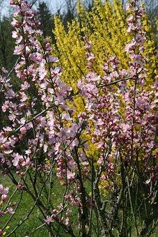 Forsythia, Intermedia, Yellow, Bush, Flower, Bloom
