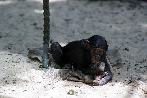 Chimpanzee, Zoo, Small, Play, Ape, Primate, Mammal