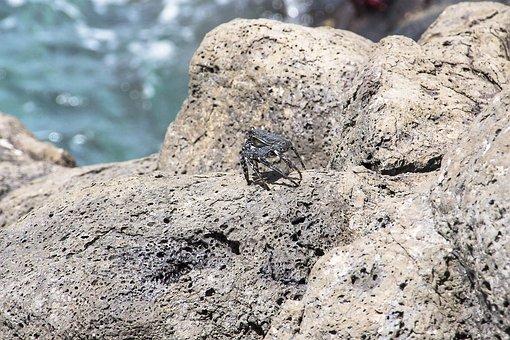 Red Cliff Crab, Crab, Meeresbewohner, Shellfish