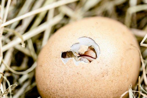 Hatching Chicks, Egg Shell Break, Bill, Egg, Poultry