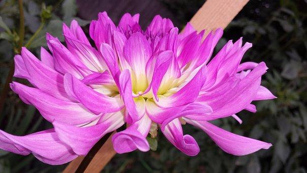 Dahlia, Flower, Purple, Bloom, Garden