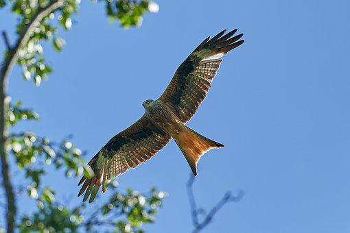 Red Kite, Tree, Bird Of Prey, Fly, Raptor, Bird, Sky