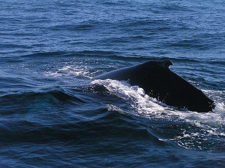 Ocean, Humpback, Whale, Sea, Water, Animal, Marine