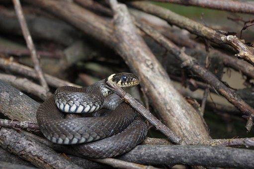 Snake, Natter, Nature, Reptile, Grass Snake, Snakehead