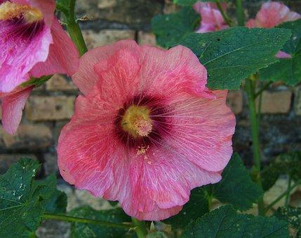 Hollyhock, Garden Plant, Summer