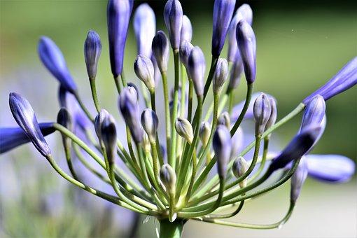Agapanthus, Purple, Green, Summer