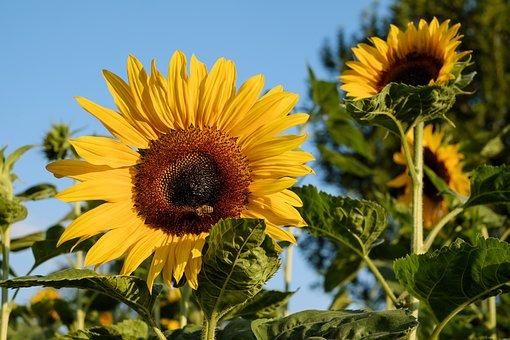 Sunflower, Flower, Bloom, Yellow, Field Of Flowers