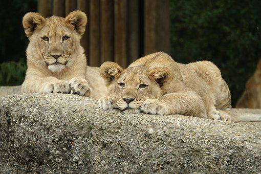 Lion, Young Animal, Sleep, Tired, Rest Sweet, Twins