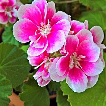 Flower, Geranium, Scented Geranium, White Pink Flowers