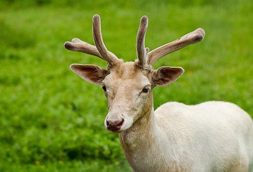 Fallow Deer, Hirsch, Wild, Antler, White