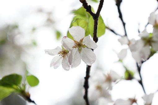 Wuhan, Cherry Blossom, Wuhan University