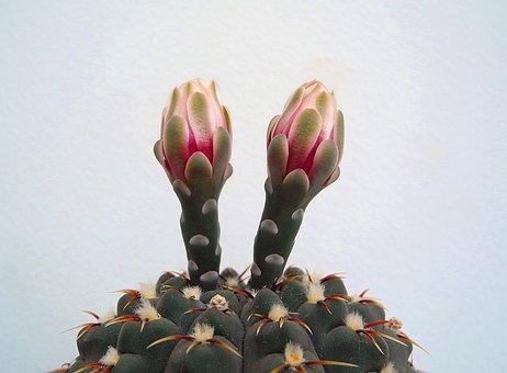 Cactus, Cactus Flower, Flower, Aechmea Plant