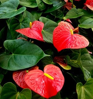 Anthurium, Red, Heart, Plant, Plants, Green, Houseplant