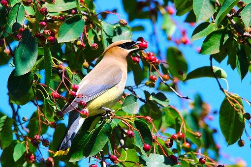 Bird, Cedar Waxwing, Serviceberries, Fruit, Plenty