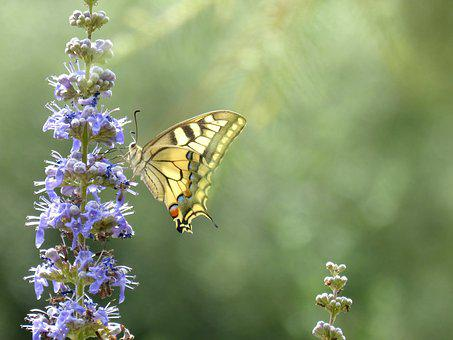 Machaon, Papilio Machaon, Butterfly Queen, Greenery