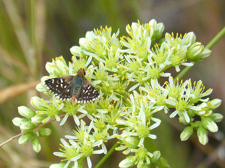 Wild Flower, Gross Floor, Butterfly, Muschampia Proto
