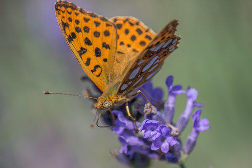 Buterfly, Lavender, Macro, Blue, Close, Color, Day
