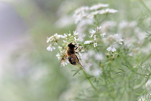 Coriander, Herb, Spice, Bee, Animal, Mediterranean