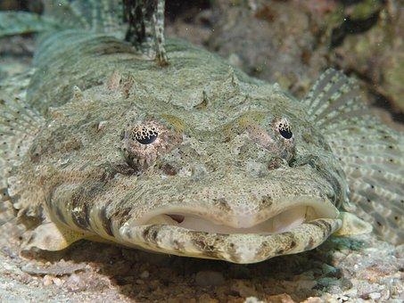 Crocodile Fish, Cociella Crocodila, Fish, Diving