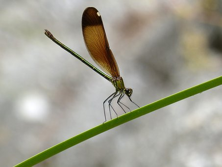 Dragonfly, Damselfly, Calopteryx Virgo, Damisel·