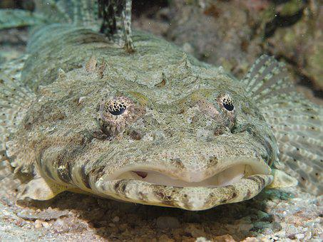 Crocodile Fish, Cociella Crocodila, Fish, Diving