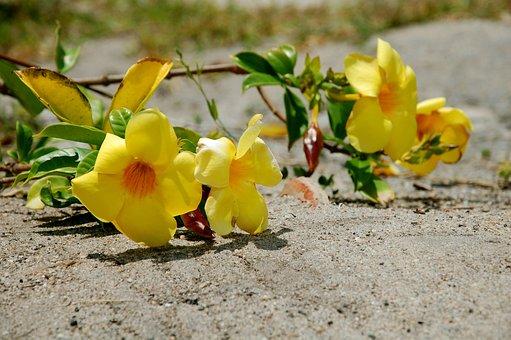 Brazil, Bahia, Flower, Alamanda, Yellow, Yellow Flower