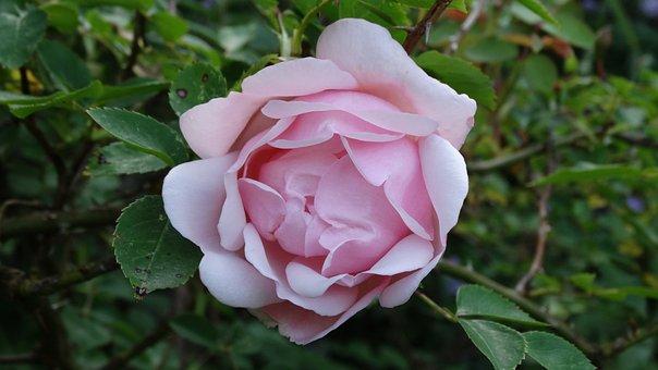 Pink, Flower, Rosebush, Garden, Pink Flowers, Spring