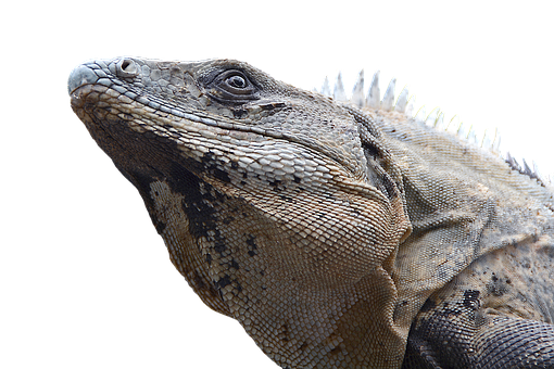 Iguana, Reptile, Lizard, Dragon, Monitor, Scaly