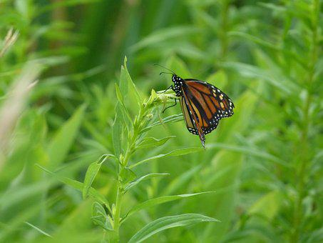 Butterfly, Monarch Butterfly, Monarch, Insect, Orange