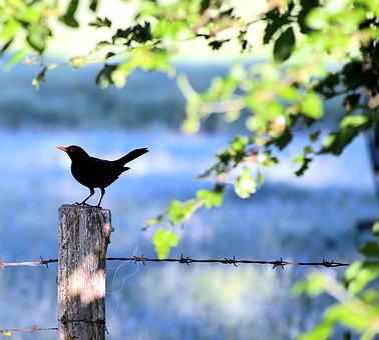 Blackbird, Landscape, Tierportait, Bird, Nature, Sun