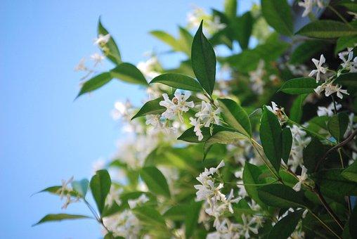 Flower, Jasmine, Nature, Green