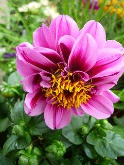 Dahlia, Flower Garden, Tubers-plant, Not Winter-hardy