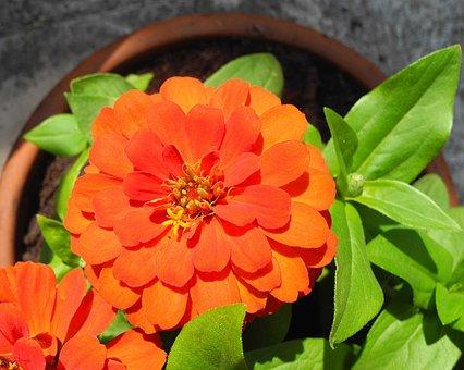 Rézvirág, Zinnia, Orange Flower, Flower, Orange
