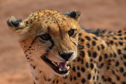 Cheetah, Namibia, Africa, Animal, Big Cat, Predator