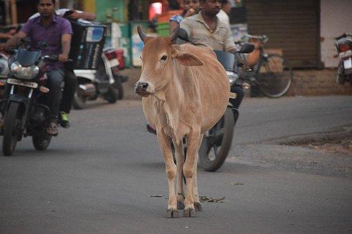 Cow, Street, Road, City, Traffic, Problem