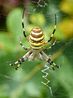 Spider Tiger, Wasp Spider, Argiope Bruennichi, Web