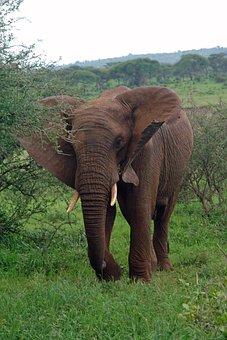 Africa, Tanzania, Elephant, Wildlife, Majestic, Ivory
