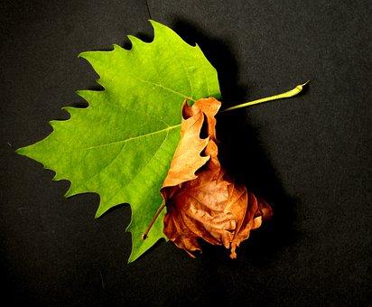 Nature, Foliage, Sycamore, Twisted