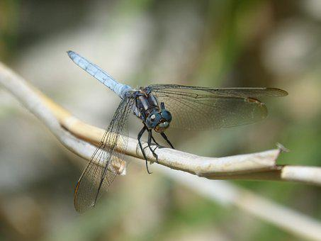 Blue Dragonfly, Winged Insect, Orthetrum Brunneum
